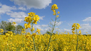 Field of Oil seed rape (Brassica napus) flowers moving in the wind, Birmingham, England, UK, May.  -  Steve Downer