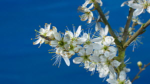 Timelapse of Blackthorn (Prunus spinosa) flowers opening, UK, April.  -  Steve Downer