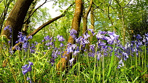 Tracking shot of Bluebells (Hyacinthoides non-scripta) in flower, Millison's Wood, Solihull, West Midlands, UK May. - Steve Downer