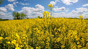 Tracking shot through a field of Oilseed rape (Brassica napus) flowers, Birmingham, England, UK, May.  -  Steve Downer