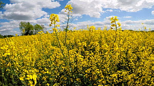 Tracking shot through a field of Oil seed rape (Brassica napus) flowers, Birmingham, England, UK, May.  -  Steve Downer