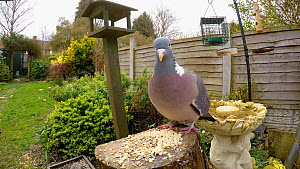 Wood pigeon (Columba palumbus) feeding in a garden, flies to fence and then out of frame, Birmingham, England, UK, March. - Steve Downer