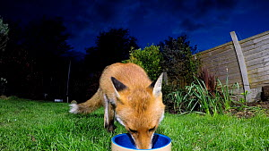 Red fox (Vulpes vulpes) feeding from a bowl in a garden, Birmingham, England, UK, April. - Steve Downer