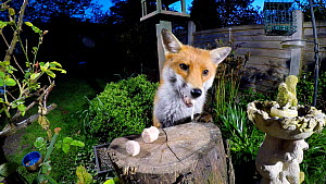 Red fox (Vulpes vulpes) jumping over a fence and taking food left out on a tree stump in a garden, Birmingham, England, UK, April.  -  Steve Downer