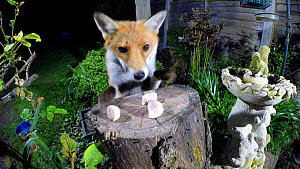Red fox (Vulpes vulpes) taking food left out on a tree stump in a garden before jumping over fence, Birmingham, England, UK, April. - Steve Downer