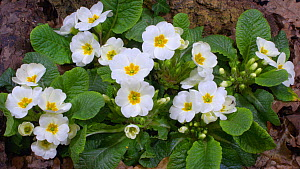 Timelapse of Primrose (Primula vulgaris) flowers opening, UK. March. Controlled conditions. - Steve Downer