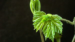 Timelapse of Sycamore tree (Acer pseudoplatanus) leaves developing, UK. March. Controlled conditions.  -  Steve Downer