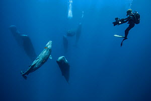 Sperm whale (Physeter macrocephalus) pod watched by scuba diver. Indian Ocean.  -  Stephane Granzotto