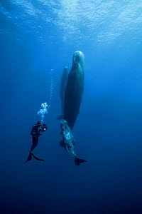Sperm whale (Physeter macrocephalus) with calf, watched by scuba diver, Indian Ocean.  -  Stephane Granzotto