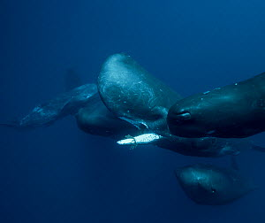 Sperm whales (Physeter macrocephalus) Indian Ocean.  -  Stephane Granzotto