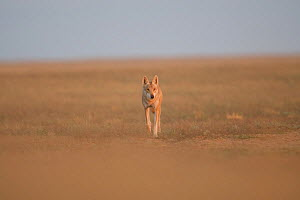 Grey wolf (Canis lupus) walking in the Astrakhan Steppe, Southern Russia.  -  Valeriy Maleev