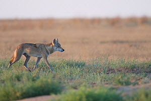 Grey wolf (Canis lupus) walking, Astrakhan Steppe, Southern Russia.  -  Valeriy Maleev