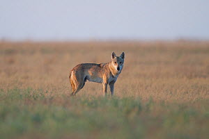 Grey wolf (Canis lupus) Astrakhan Steppe, Southern Russia.  -  Valeriy Maleev