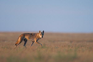 Grey wolf (Canis lupus) walking in Astrakhan Steppe, Southern Russia.  -  Valeriy Maleev