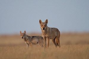 Grey wolf (Canis lupus) two standing in grass, Astrakhan Steppe, Southern Russia.  -  Valeriy Maleev