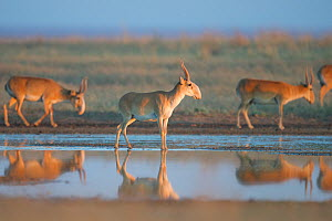 Saiga antelope (Saiga tatarica) males reflected in water, Astrakhan Steppe, Southern Russia.  -  Valeriy Maleev
