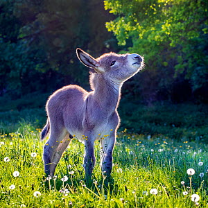 Provence donkey foal, age three weeks, standing in a flowering grass meadow in spring, France - Klein & Hubert