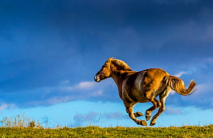 Fjord or Norwegian fjord horse galloping in grass meadow in fall, France - Klein & Hubert