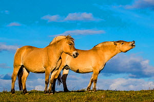 Fjord or Norwegian fjord horses - dun mares in grass meadow in fall, one showing flehmen response,, France  -  Klein & Hubert