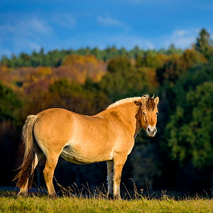 Fjord or Norwegian fjord horse - dun mare standing in grass meadow in fall, France  -  Klein & Hubert