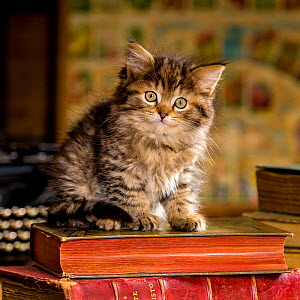 Two months old brown tabby semi-longhaired kitten (European x Maine Coon) sitting on old books in attic  -  Klein & Hubert