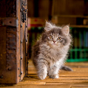 Two months old blue tabby semi-longhaired kitten (European x Maine Coon) walking near old trunk, exploring in attic - Klein & Hubert