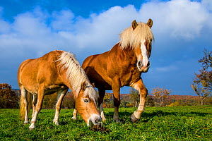Two Comtois draft horses in grass meadow in autumn, one is sniffing at droppings, France - Klein & Hubert