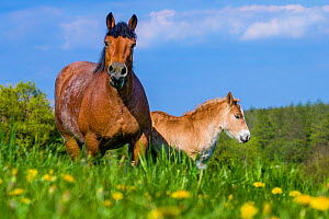 Ardennes horse - bay roan mare and light chestnut foal in grass meadow in spring, France  -  Klein & Hubert
