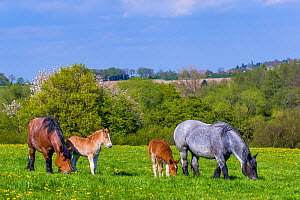 Ardennes horse - bay roan mare and blue roan mare with their chestnut foals in grass meadow in spring, France  -  Klein & Hubert