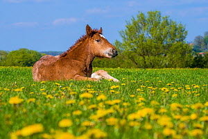 Ardennes horse - chestnut foal standing up in grass meadow in spring, France  -  Klein & Hubert