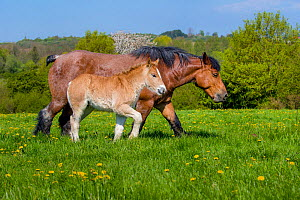 Ardennes horse - bay roan mare and light chestnut foal walking in grass meadow in spring, France  -  Klein & Hubert