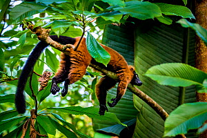 Red-ruffed lemur (Varecia rubra) lying on branch in tropical forest, Madagascar.  -  Klein & Hubert
