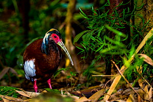 Madagascan Ibis (Lophotibis cristata) walking on forest floor, tropical forest, Madagascar.  -  Klein & Hubert