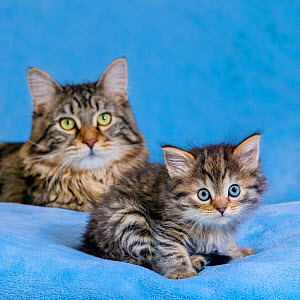 Semi-longhaired tabby kitten, Maine coon x European, age six weeks old sitting with adult Maine coon on blue blanket - Klein & Hubert