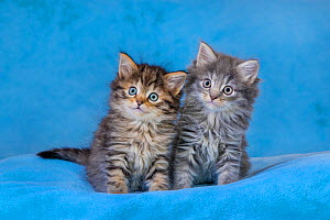 Two semi-longhaired Maine coon x European tabby kittens, age six weeks, sitting on blue blanket - Klein & Hubert