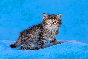 Semi-longhaired Maine coon x European tabby kittens, age six weeks, sitting on blue blanket - Klein & Hubert