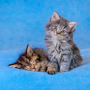 Semi-longhaired tabby kitten, age six weeks, sitting on blue blanket - Klein & Hubert