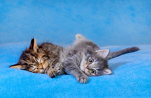 Semi-longhaired tabby kittens, age six weeks, lying on blue blanket Maine coon x European - Klein & Hubert
