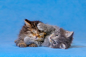 Semi-longhaired tabby kittens six weeks, lying on blue blanket, - Klein & Hubert