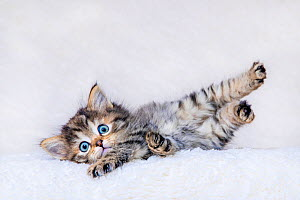 Semi-longhaired Maine coon x European tabby kitten, age six weeks, lying on white blanket - Klein & Hubert