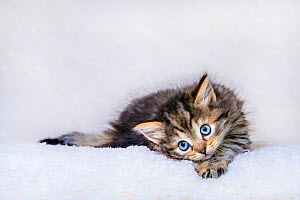 Semi-longhaired tabby kitten, age six weeks, lying on on white blanket - Klein & Hubert
