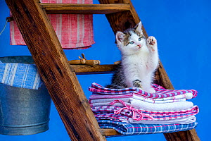 Tabby and white kitten, age seven weeks, lying on a laundry pile on a ladder in farmyard. - Klein & Hubert