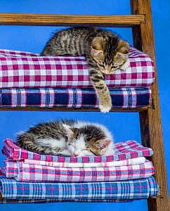Two tabby and white kittens, age seven weeks, lying on a laundry pile on a ladder in farmyard. - Klein & Hubert