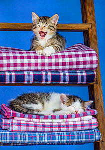 Two tabby and white kittens, age seven weeks old tabby, lying on laundry pile on a ladder in farmyard - Klein & Hubert