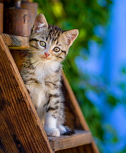 Tabby and white kitten, age two months, sitting on an old miller's ladder in a farmyard  -  Klein & Hubert