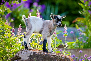 Grey-and-white agouti pygmy goat kid standing on rock in kitchen garden in summer. France.  -  Klein & Hubert