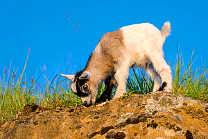 Grey-and-white agouti pygmy goat kid standing on a rock in a meadow, licking lichens, France.  -  Klein & Hubert