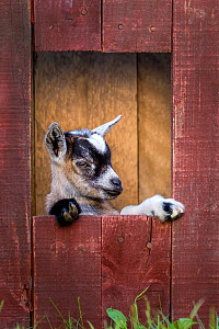 Grey-and-white agouti pygmy goat kid standing in barn.  -  Klein & Hubert