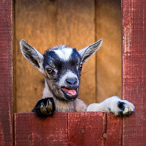 Grey-and-white agouti pygmy goat kid standing in barn and bleating  -  Klein & Hubert