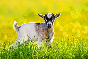 Grey-and-white agouti pygmy goat kid standing in grass in front of meadow with buttercup flowers in summer. France.  -  Klein & Hubert